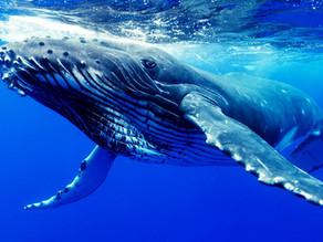 Ekosistem Mühendisleri Balinalar