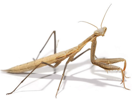 What Does Mantids Beings Have To Say For Themselves?