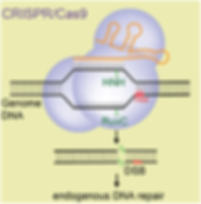 Figure-CRISPR-Cas9 DNA repair2 (great!).