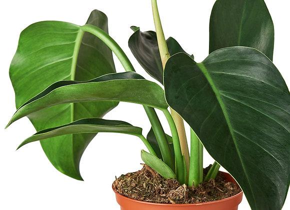 Philodendron 'Congo Green'