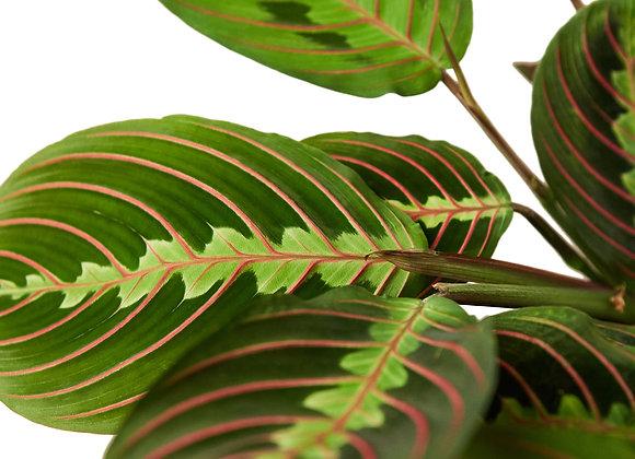 Maranta 'Red Prayer Plant'