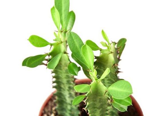 Euphorbia 'Milk Stripe'