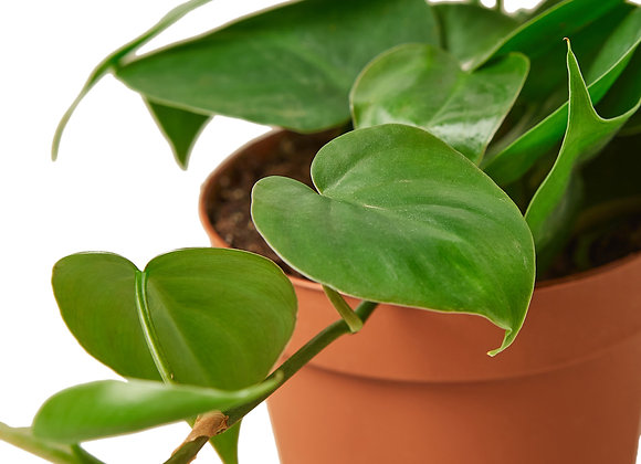 Philodendron 'Heart leaf'