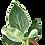 Thumbnail: Philodendron 'Birkin'