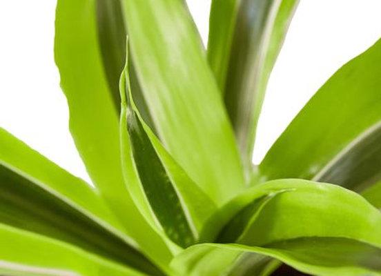 Dracaena deremensis 'Lemon Surprise'