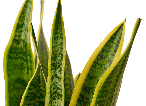 Sanseveria 'Laurentii' (Snake Plant)