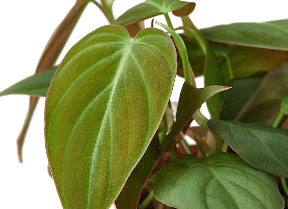 Philodendron 'Velvet'