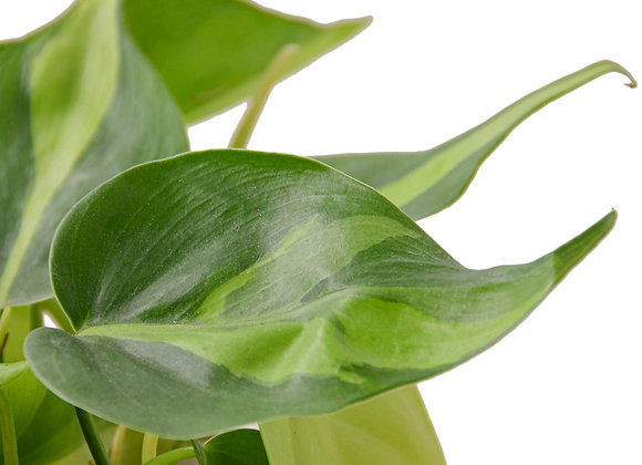Philodendron 'Brazil'