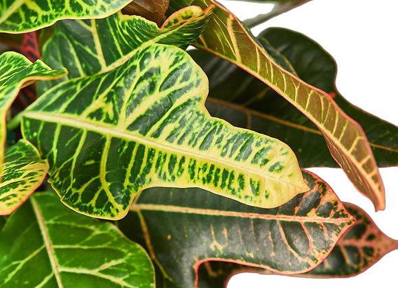 Croton 'Oak Leaf'