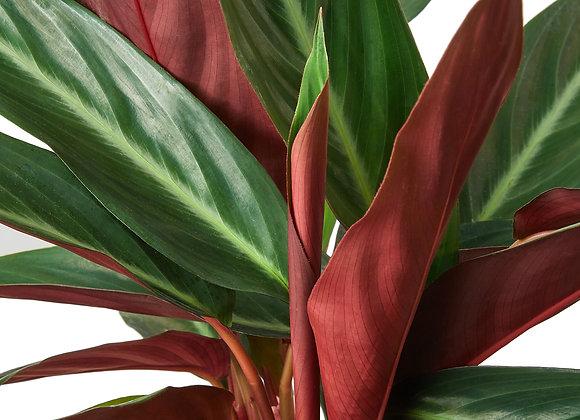 Stromanthe 'Sanguinea'