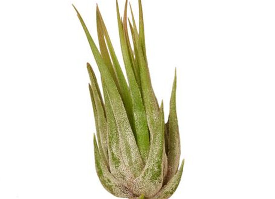Tillandsia Kolby Air Plant
