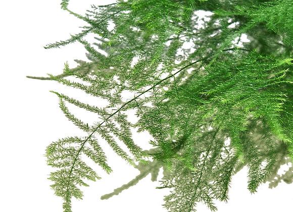 Asparagus setaceus (Asparagus Fern)
