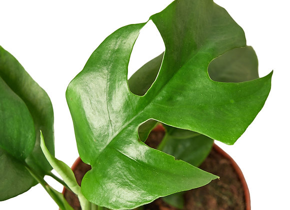 Philodendron 'Mini Monstera'