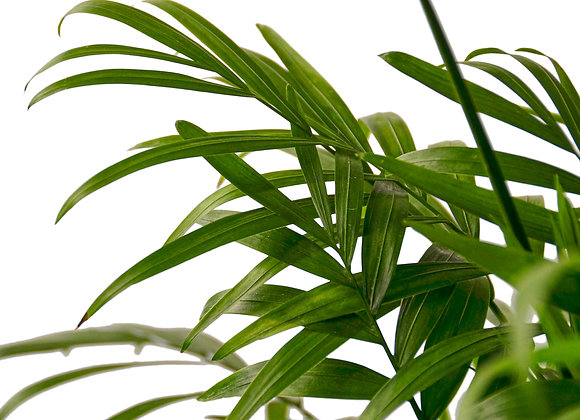 Chamadorea 'Parlor Palm'