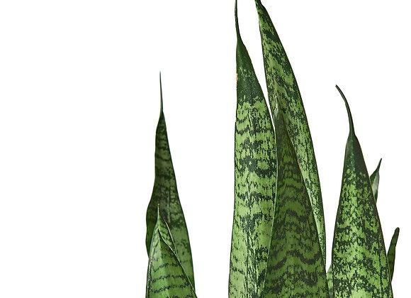 Sanseveria 'Zeylanica' (Snake Plant)