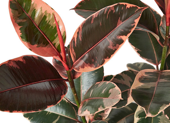 Ficus 'Ruby Pink'
