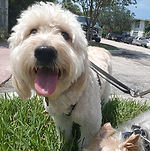 Golden Doodle, Dog Boarding, Dog Day Care, Friendly dog