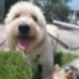 Golden Doodle, Dog Boarding, Dog Day Care, Friendly dog