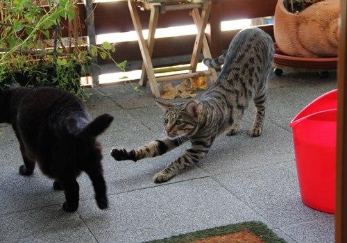 spielende Katzen