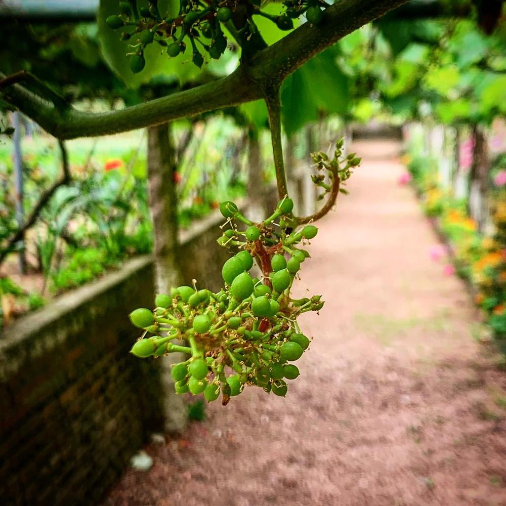 um parreiral com um cacho de uva em brotação