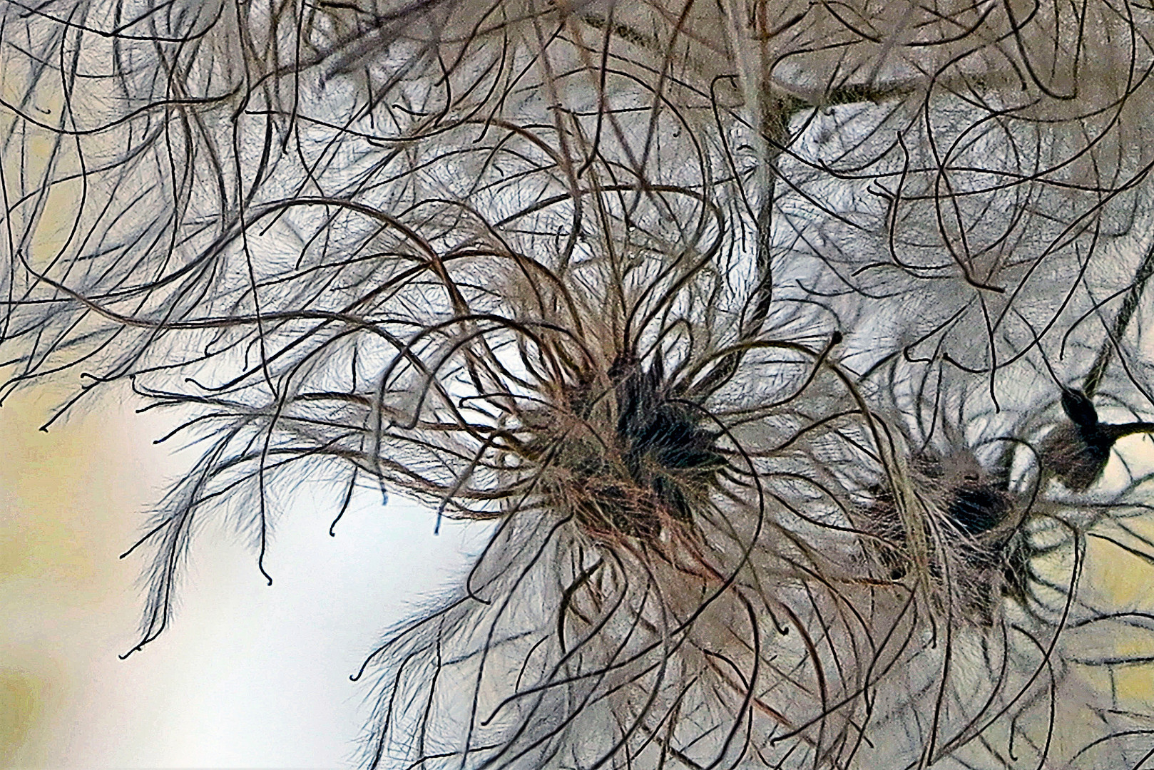 Seeds In Comb Wash