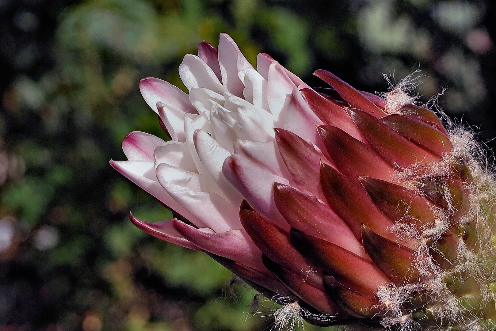 Hairy Cactus Flower Bud 1