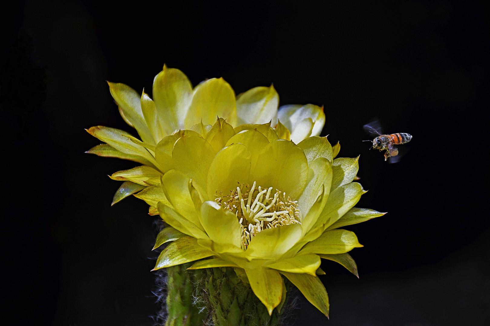 Yellow With Flying Bee