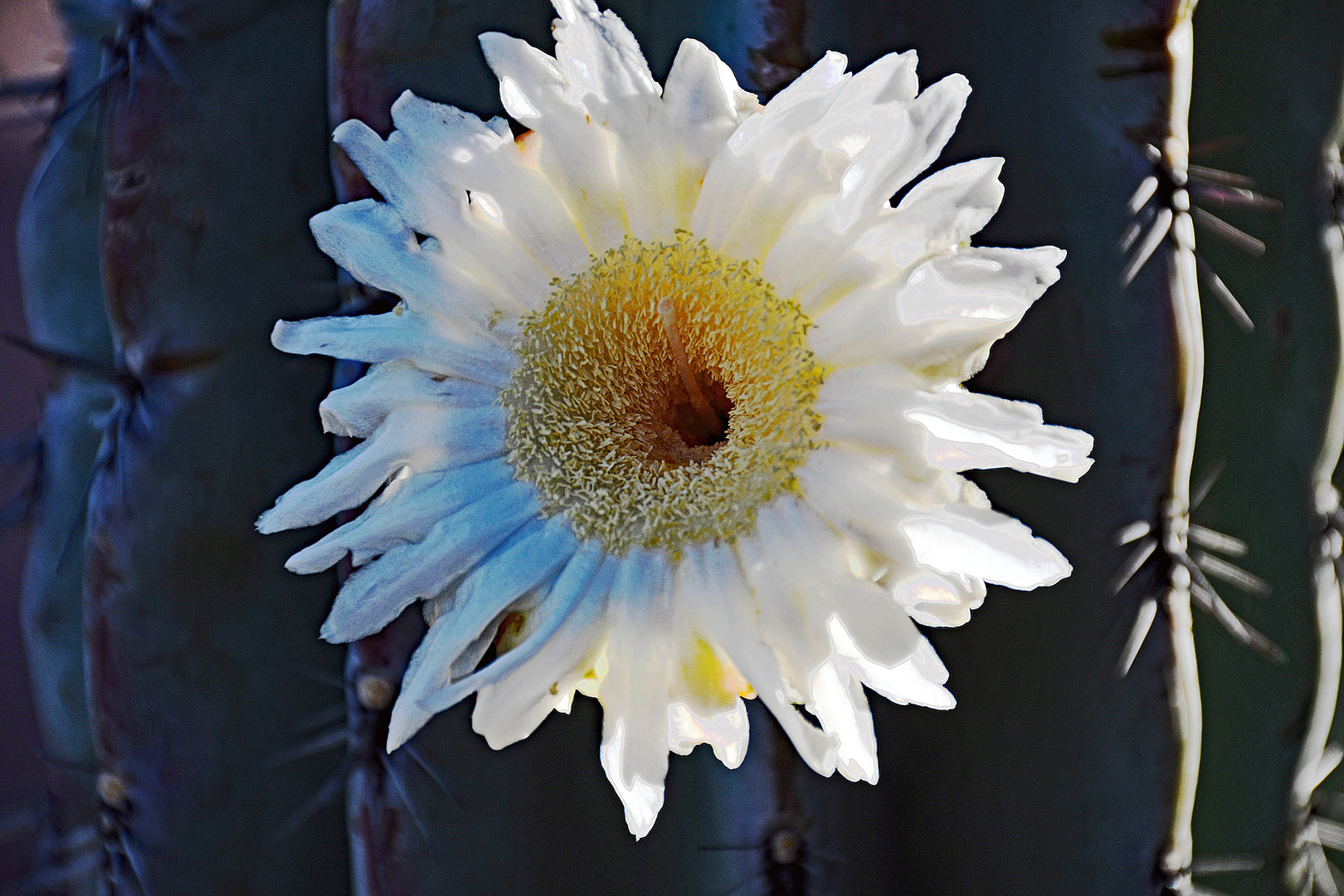 Cardon Flower