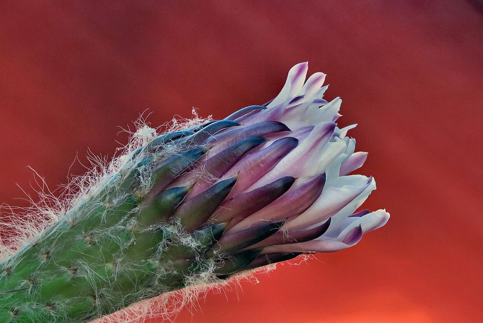 Hairy Cactus Flower Bud 2