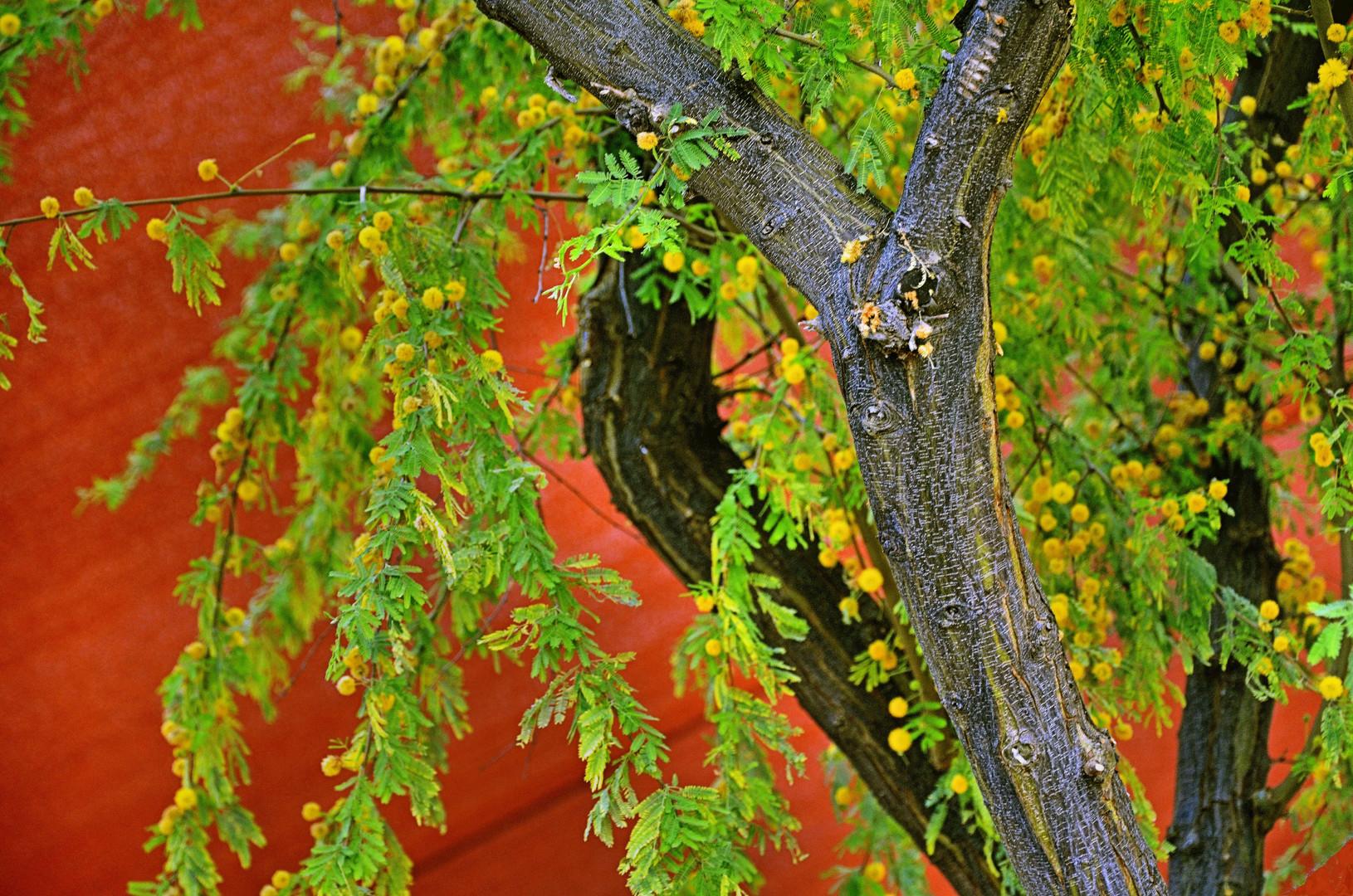 Sweet Acacia Blooming