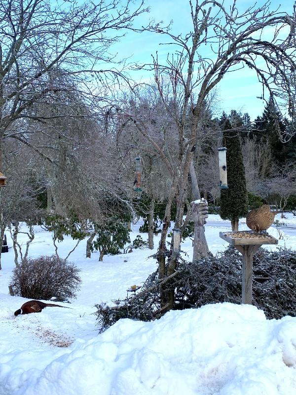 Snowy, bird feeding area