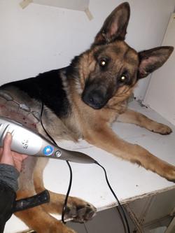 kinesiología veterinaria