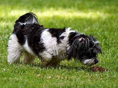 Coprofagia: perros que comen heces