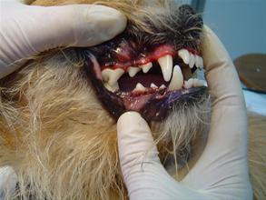 Odontologia-veterinaria-y-prevención-salud-dental-35926_image