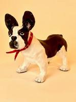 French Bulldog 2.jpg