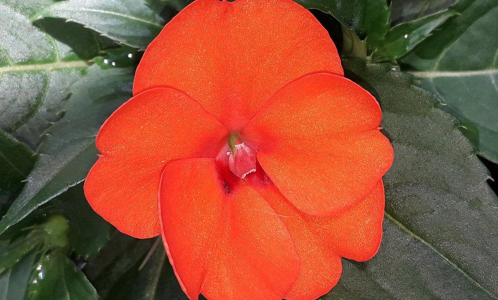 Nuova Guinea Sole - Vaso 14