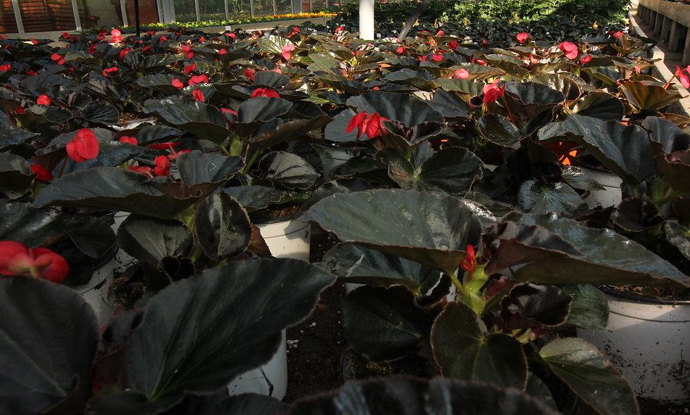 Begonia Drago - Vaso 14