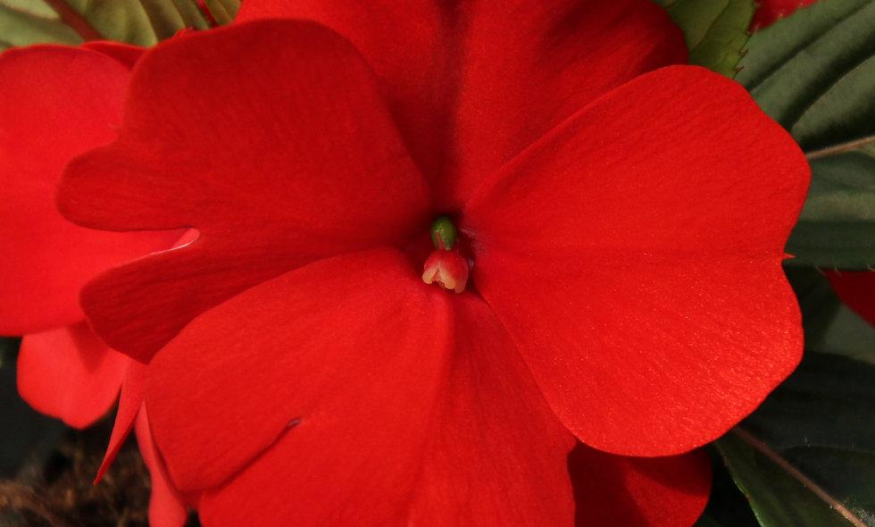 Nuova Guinea Ombra - Vaso 12