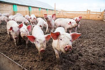pigs-shutterstock_763011463.jpg