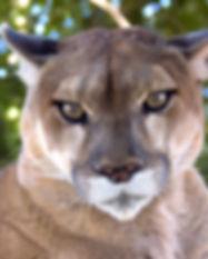mountain lion_edited.jpg