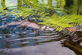 Platypus-small-australiantourlink.jpg