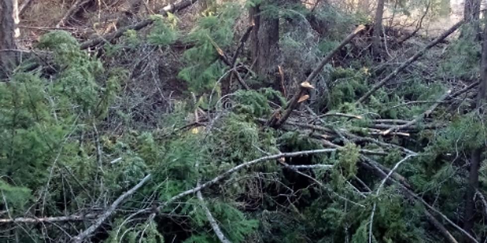 Tree Limb Removal Rodeo!