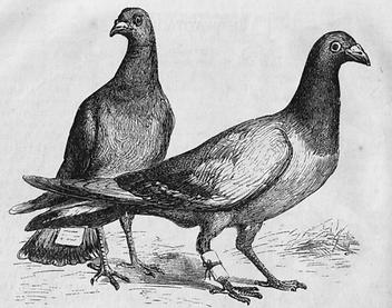 Pigeon_Messengers_Harpers_Engraving-768x