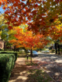 Central West End Living | Fall Trees