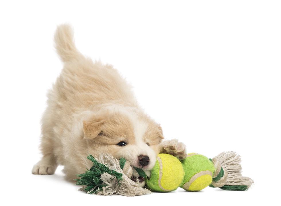 bigstock-Border-Collie-puppy--weeks-o-42963040.jpg