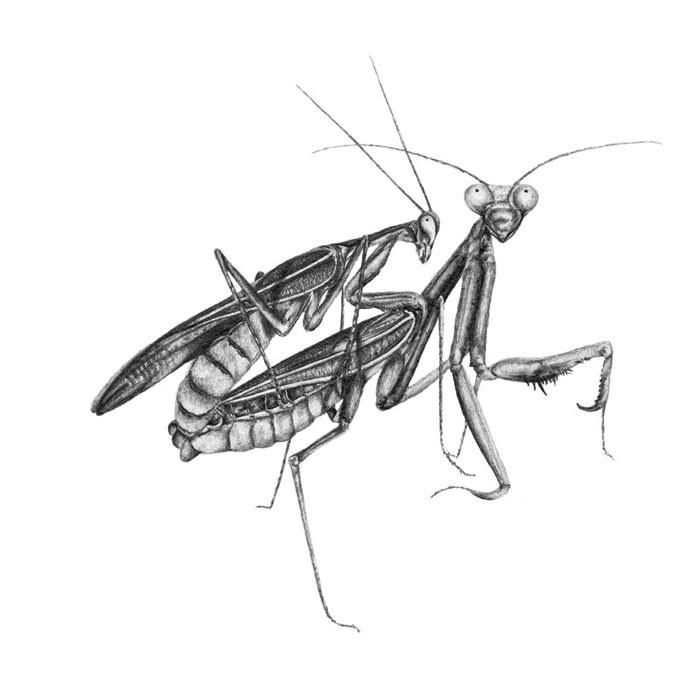 1_Mantis.jpg