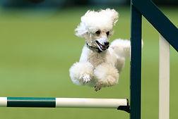 small dog agility, dog jumps, agility traning, fidosfun