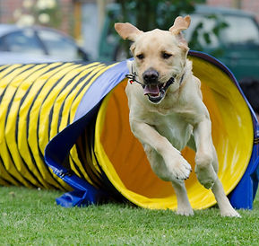 Dog agility tunnels, fidosfun tunnel traning, confident dogs, happy dogs, golden labrador