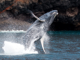 A good place for whale-watching – humpback whales on St Helena