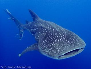 The friendly 'bone' shark.. Whale sharks on St Helena